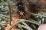 "<a href=""/clm/species/lymantria_dispar""><em>Lymantria dispar</em></a> (Gypsy Moth) larva."